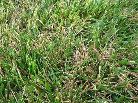 Why Is My Tall Fescue Wilting?