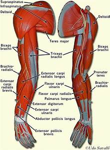 Labeled Muscles Of Upper Arm