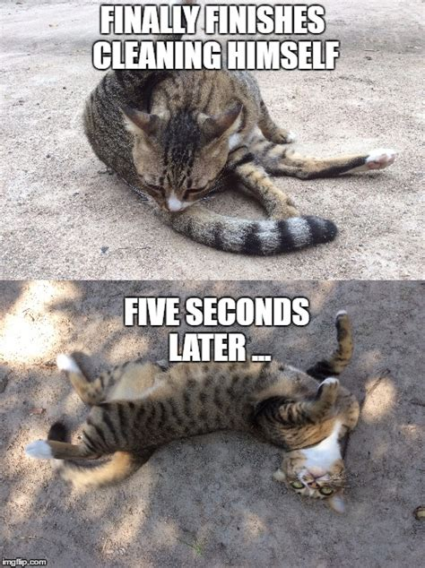 Tabby Meme - cat rolls in dirt after cleaning himself imgflip