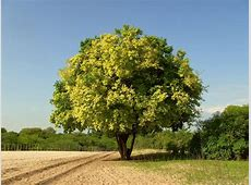 National Tree Of Sri Lanka Na Tree 123Countriescom