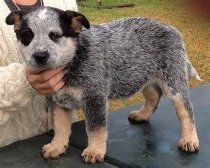 Blue Heeler Lab Mix Shedding by Australian Cattle Dog Breed Info And Care