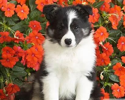 Puppy Sheepdog Shetland Desktop Tv