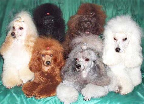 poodle colors apricot poodle colors miniature and standard poodle colors