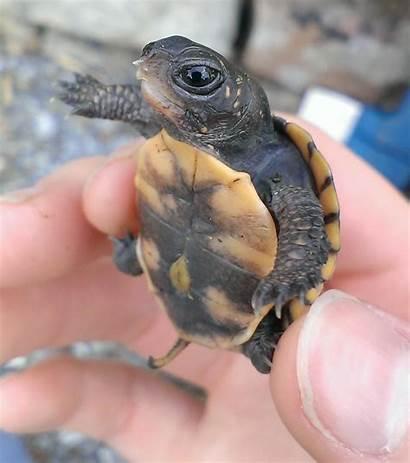 Turtles Adorable Turtle Animals Tortoise Sea Way