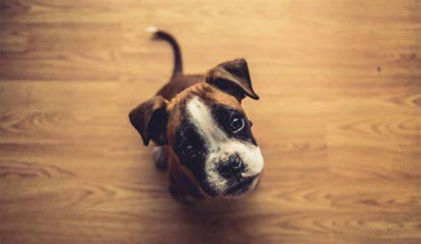 boxer puppies boxer dog puppy size lifespan