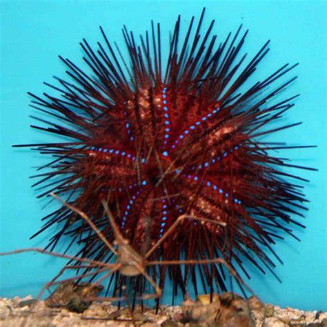 urchin fire rainbow radiata thatpetplace saltwater invertebrates pinit crab