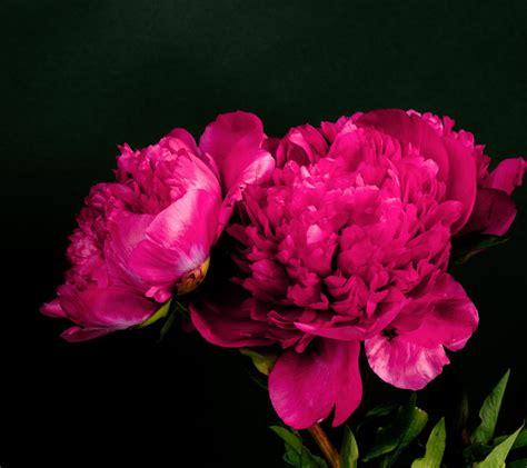 Dark Red Peonies Flowers
