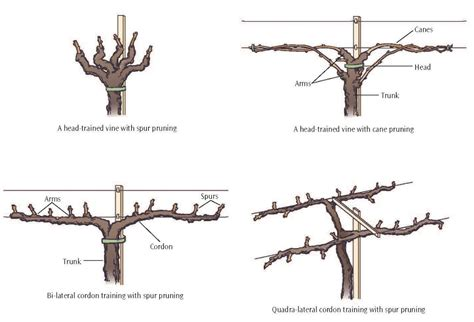 how to prune vines pruning grapes google search grapes pinterest growing grapes garden landscaping and gardens
