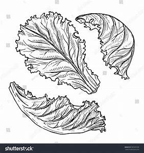 Vector Sketch Lettuce Isolated On White Stock Vector ...