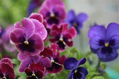 bathroom painting ideas how to grow pansies