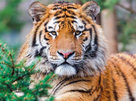 screensaver tiger image
