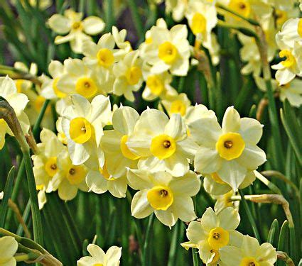 narcissus minnow white flower farm