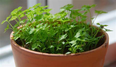 growing herb indoors 15 popular herbs to grow indoor