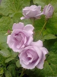Mainzer Fastnacht Rose : 39 mainzer fastnacht 39 rose photo flora fauna rose flowers rose perfume ~ Orissabook.com Haus und Dekorationen