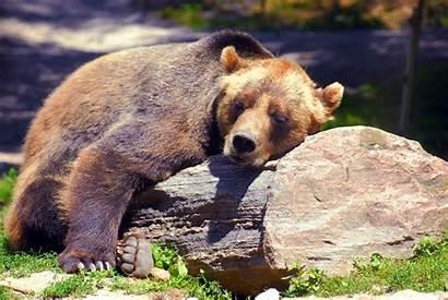 Bear Nap Need Sleeping Boring Animal Winter