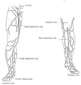 Leg Arteries and Veins Diagram