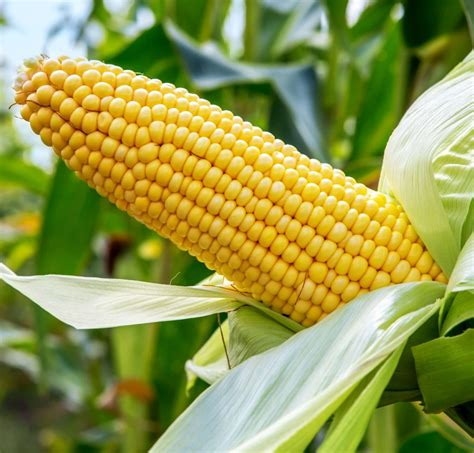 Introduces 12 new hybrid varieties of maize for ...
