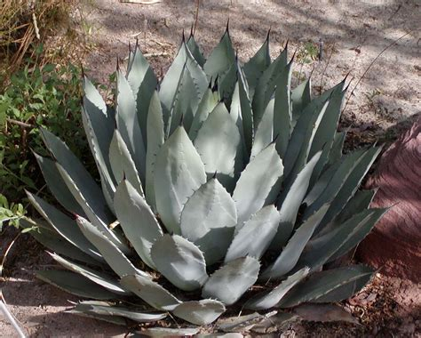 agave plant raederle agave the good the bad the ugly