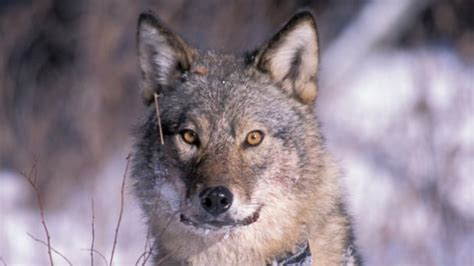 wolf culling policies  updating alberta conservationist  cbc news