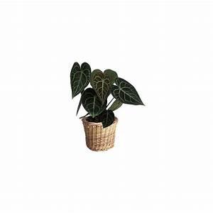 Cache Pot Tressé : anthurium clarinervium cache pot tress plantes et jardins ~ Teatrodelosmanantiales.com Idées de Décoration