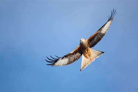 bird kite flying  sky pics hd wallpapers