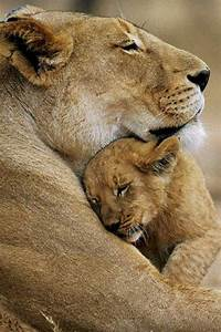 Image Gallery mother lion and cubs