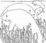 Manatee Coloring Clipart sketch template