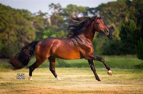 andalusian horse stallion stallions