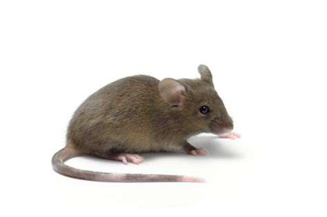 pictures of mice man dies after swallowing a mouse while working in factory mirror online