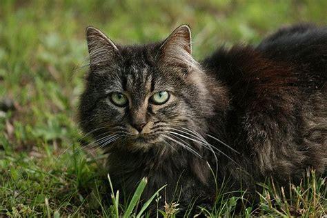 Half Bobcat Kittens  Belana The Half Bobcat Tabby Kitty
