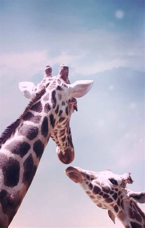 giraffe wallpapers images  pictures backgrounds