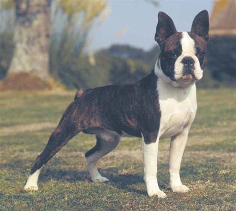 boston terrierpictures  dogs    dog