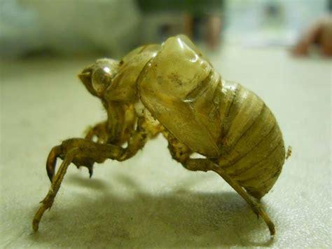 Cicada Shedding Its Exoskeleton by Cicada Skin Cicadas Shed Their Exoskeleton