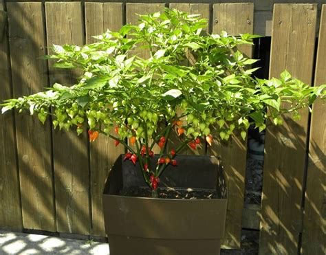 culture des jacinthes en pot peperoncino messicano frutteto caratterstiche peperoncino messicano