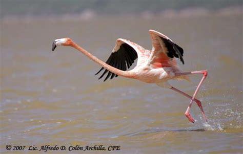 can flamingos fly family phoenicopteridae flamingos