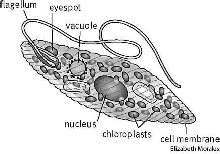 Zooflagellate Diagram Labeled by Euglena Bio