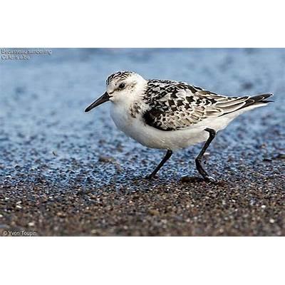 Sanderling - Calidris alba ref:yvto61148