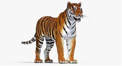 Tiger 3d Amur Cashadvance6online Impressive Type Turbosquid
