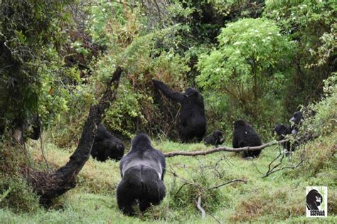 Angry Silverback Mountain Gorilla