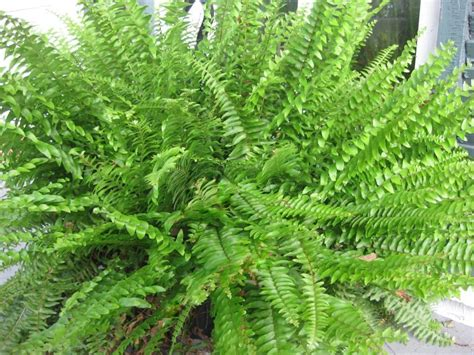 the fern plant 10 air purifier house plants apartment geeks