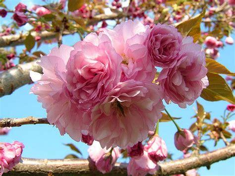 ornamental cherry tree varieties ornamental cherry tree varieties pictures reference