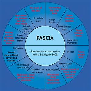 Biotensegrity Part 2  The Role Of The Fascia In The
