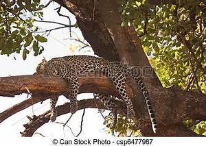 Blaukorn Baum Töten : leopard nach baum auf schlafend t ten drapiert mara ~ Lizthompson.info Haus und Dekorationen
