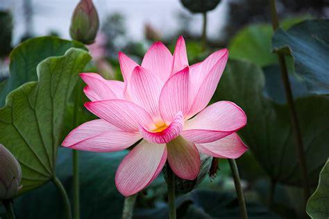 lotus flower colors picture pink color flowers lotus flower closeup