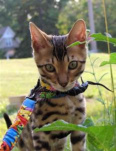 Bengal Cats–Are They Hypoallergenic? Bengal Cats