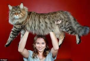 big maine coon cats for american maine coons weighing up to 35ibs become