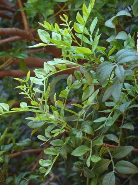 pistacia lentiscus mastic tree lentisc information