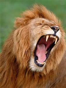 Male lion tearing his mouth open Photographic Print by ...