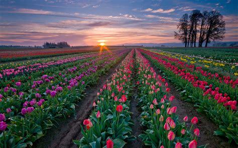 tulip farms in usa dutch tulip fields are forever black hole zoo media