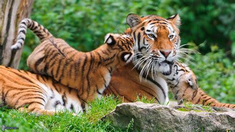tigri  rischio estinzione  natura ne restano